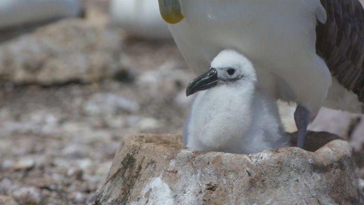 Mira ahora: nidos artificiales ayudan a los albatros a combatir el cambio climático
