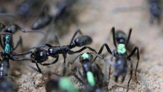 Estas hormigas se sacrifican, negándose a recibir tratamiento para sus heridas