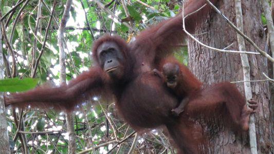 Casi 150.000 orangutanes han muerto por la tala, el aceite de palma y los conflictos con ...