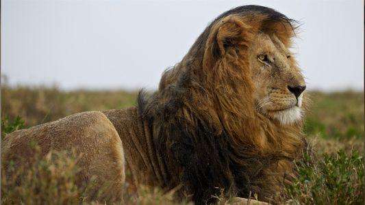 Todo sobre los leones