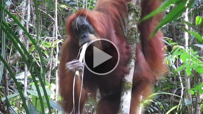 El orangután más raro en la Tierra