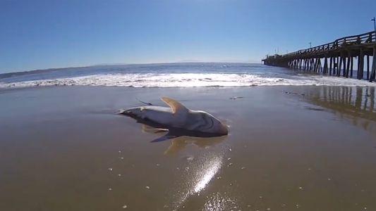 Misterioso devorador de cerebros de tiburones identificado