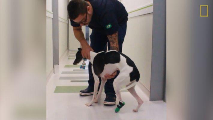 Este cachorro obtiene una pata protésica