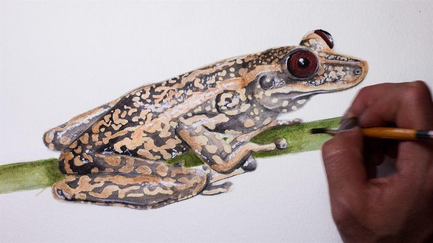 #NGxplorers: Speedpaint de la rana Aparasphenodon pomba por Daniela Cafaggi
