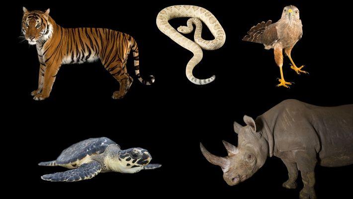 Conoce a algunas de las especies en grave peligro de extinción