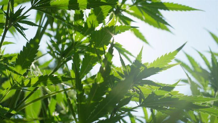 Cannabis 101