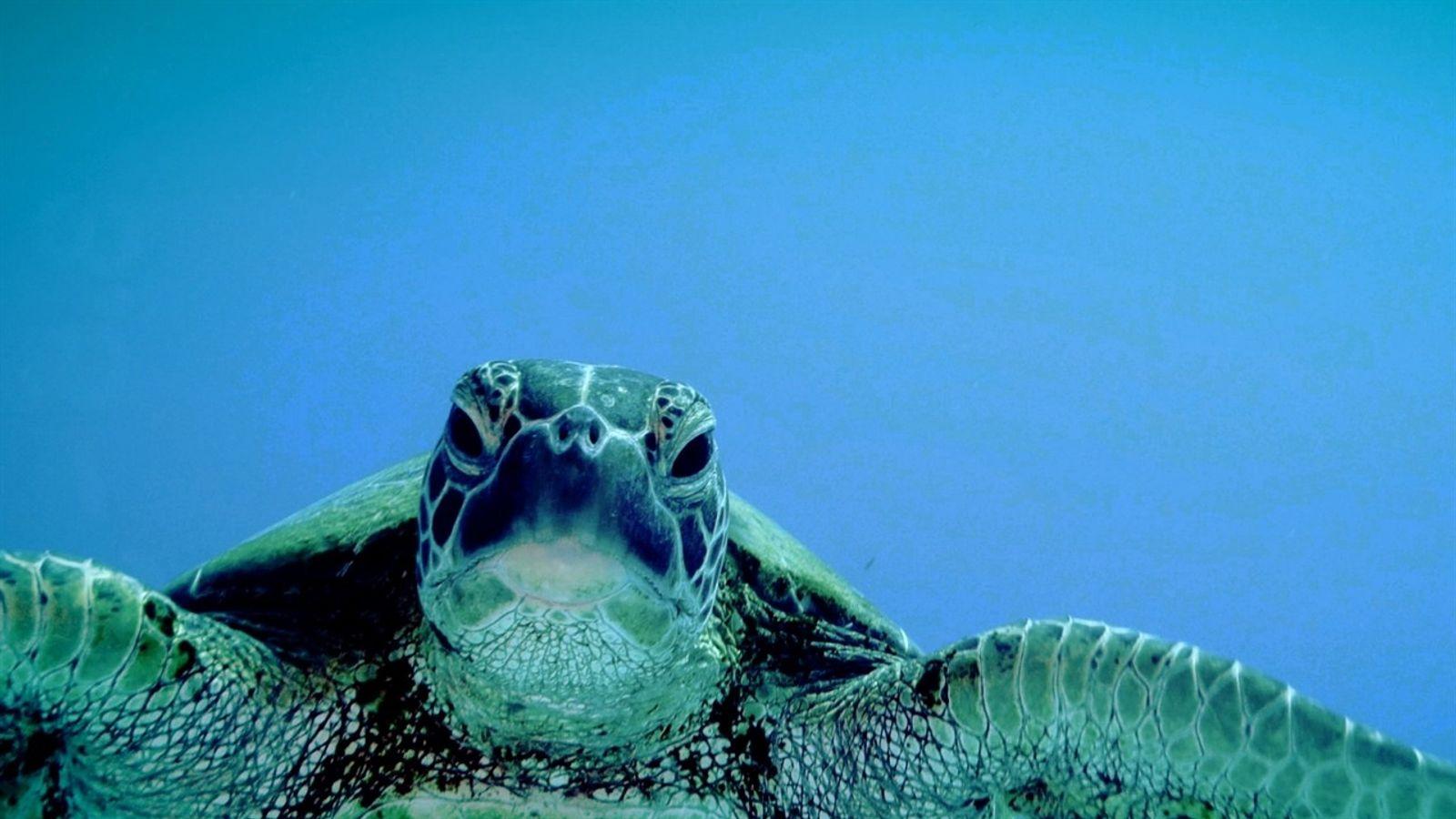 El ABC de las tortugas marinas