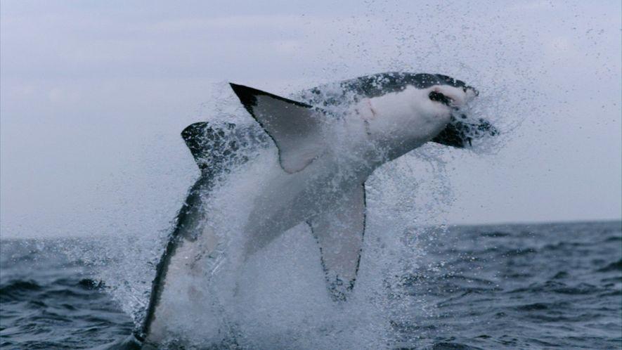Conoce datos increíbles sobre los tiburones, los peces más grandes del mundo