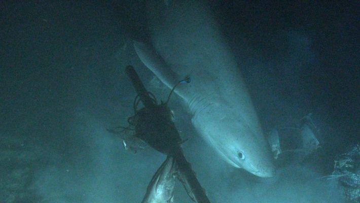 Logran etiquetar a un tiburón desde un submarino por primera vez