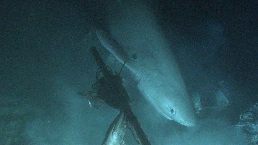 Etiquetan un tiburón desde un submarino por primera vez