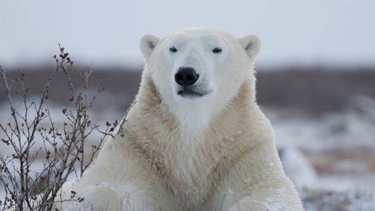Animales 101: Osos Polares