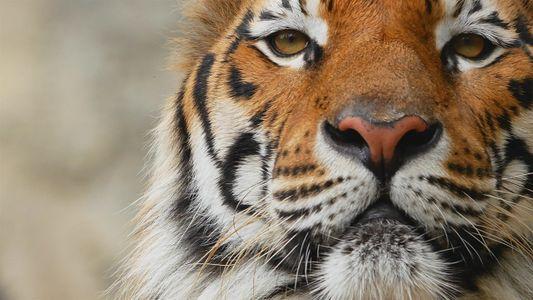 Cinco datos sorprendentes sobre los tigres