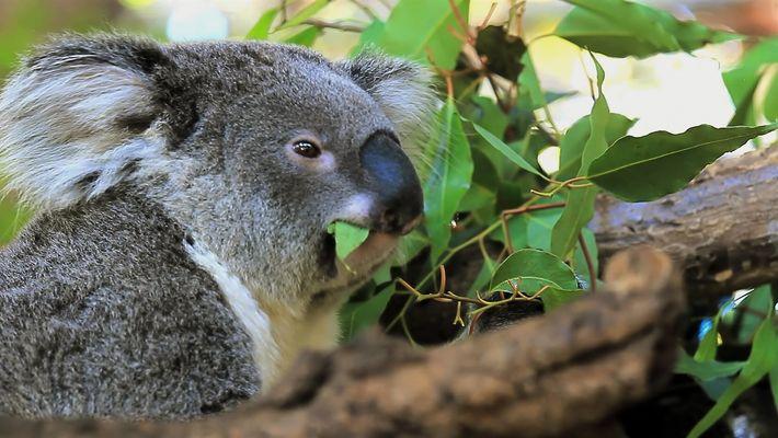 Cinco datos sorprendentes sobre los koalas