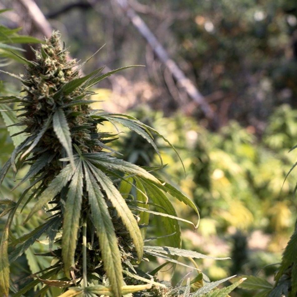 El cultivo ilegal de marihuana pone en peligro las tierras públicas de California
