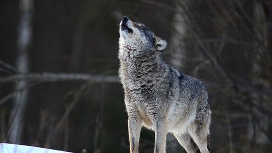 Día Internacional del Lobo: descubre datos curiosos sobre estos animales