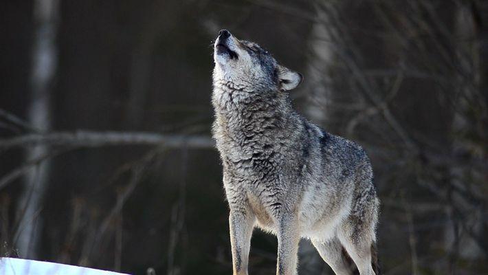 Cinco datos curiosos sobre los lobos