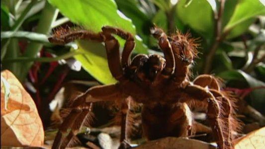 La araña más grande del mundo