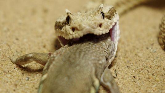 La cascabel cornuda, una asesina en el Desierto de Sonora
