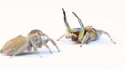 Para las arañas saltarinas, elegir a la pareja equivocada puede ser mortal
