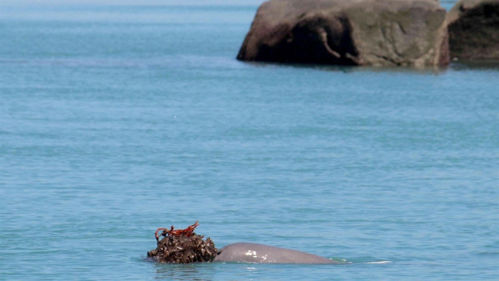 """Descubre cómo los delfines macho ofrecen una """"muestra de amor"""" a las hembras"""
