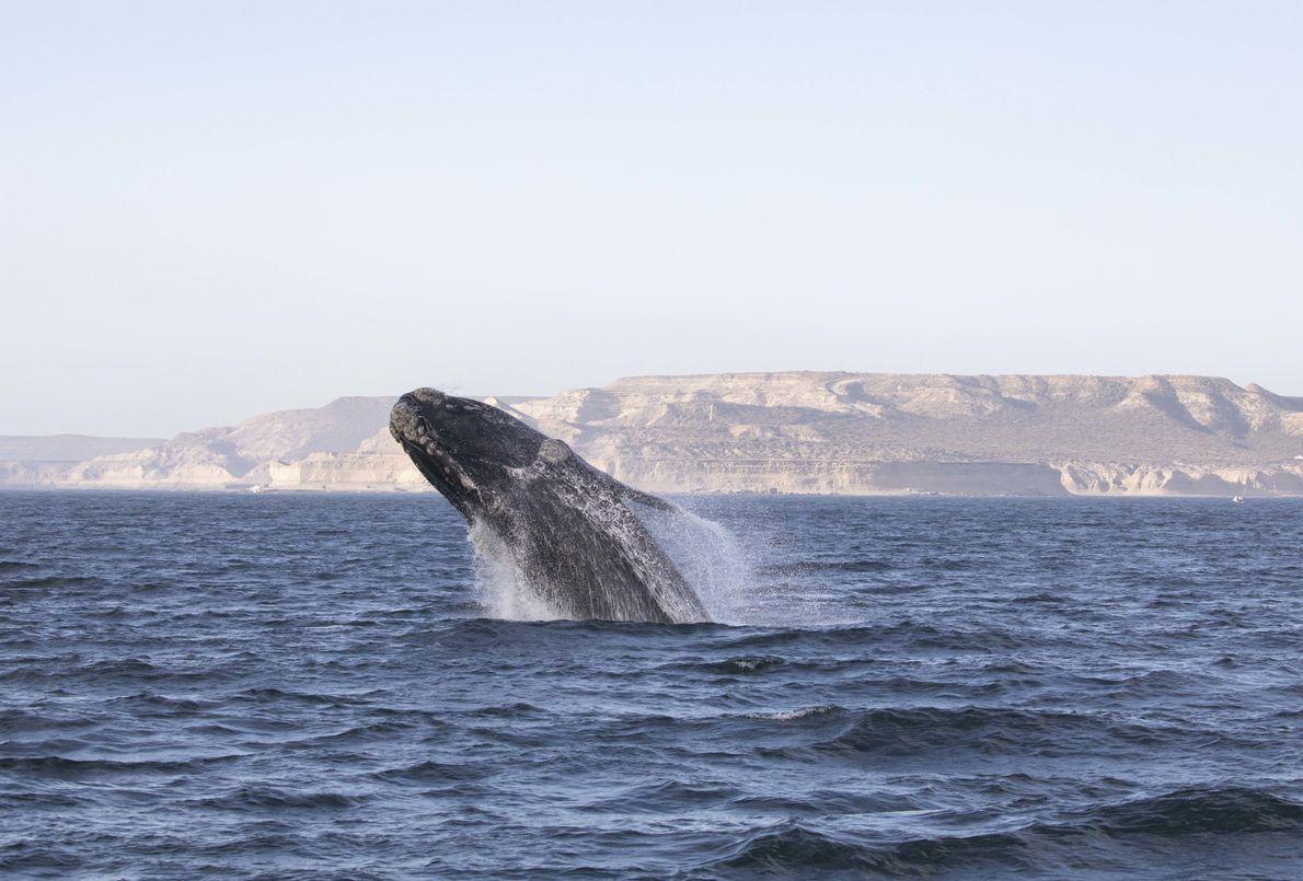 """""""La observación de los saltos de ballena es una de las cosas más alucinantes de la ..."""