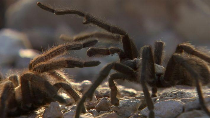 Una tarántula busca una hembra para aparearse