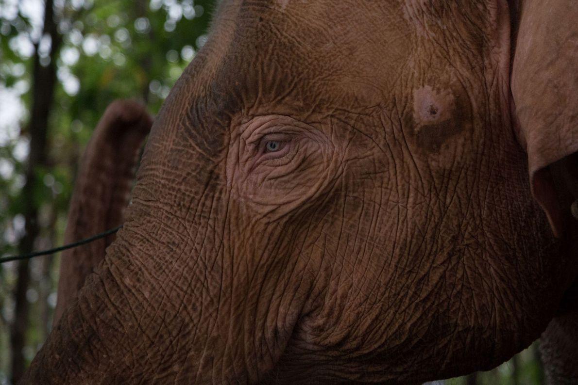 El noveno elefante blanco encontrado tiene ojos azules.