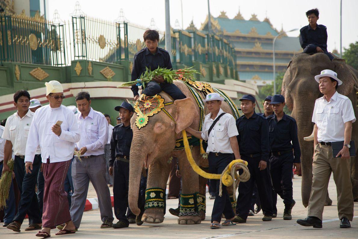 Después de días de viaje, el noveno elefante blanco llega a la ciudad capital para su ...