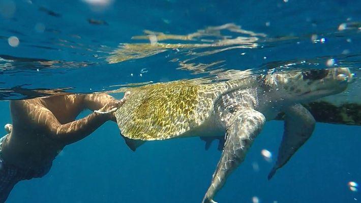 ¡Sospecha comprobada! Descubre qué animal vivo devoran estas tortugas marinas