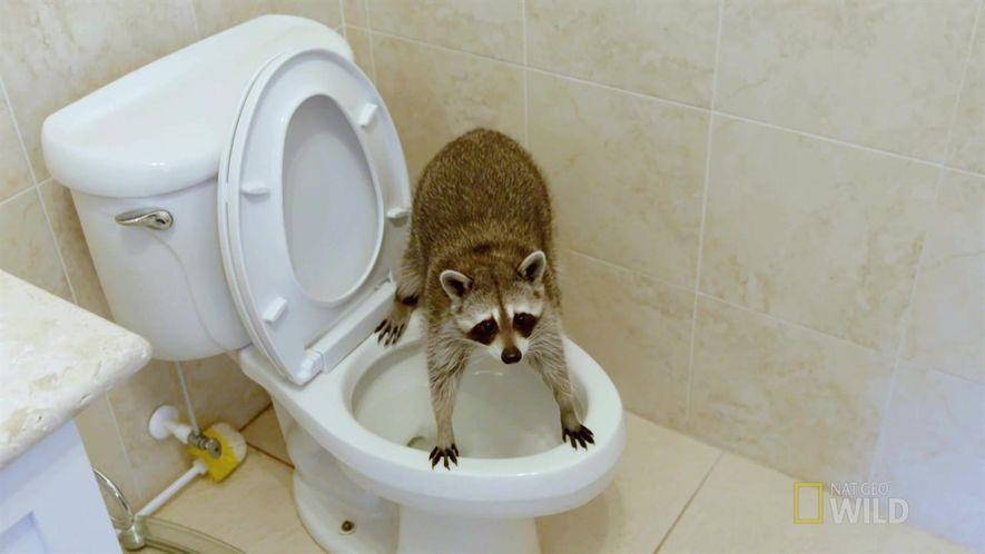 Amistades Insólitas: Una mapache entrenada para ir al baño