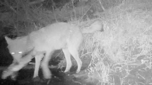 Graban por primera vez lobos que capturan peces para alimentarse
