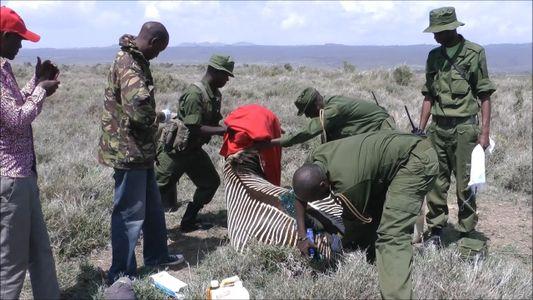 Cebra rara tiene otra oportunidad gracias a un grupo de rescatistas