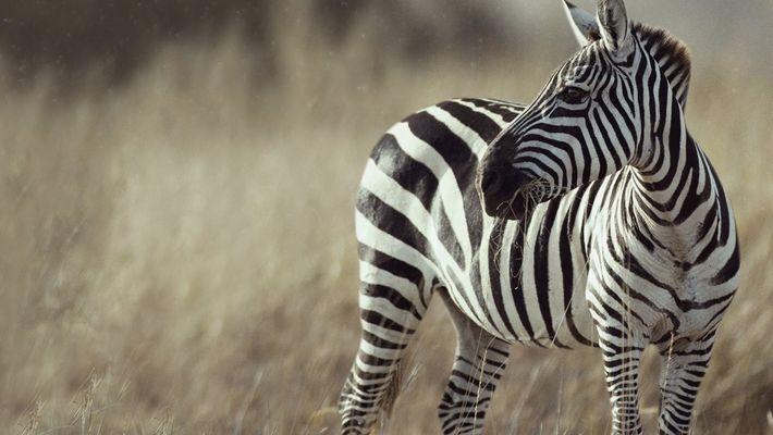 ¿Por qué las cebras tienen rayas?