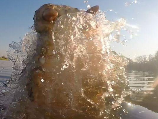 Mira este video desde el interior de la boca de un cocodrilo
