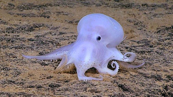 Pulpo fantasmal encontrado en las profundidades del mar