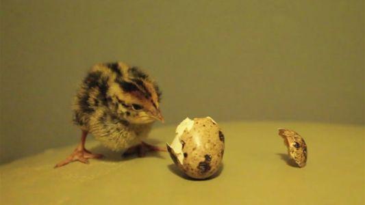 ¿Pueden los huevos que compras en el mercado eclosionar?