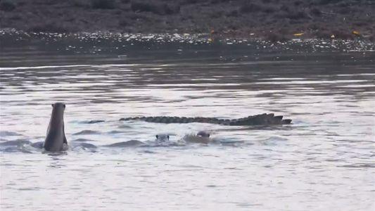 Mira a una familia de nutrias luchar contra un cocodrilo