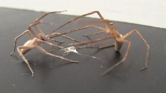 Las arañas macho atan a las hembras para sobrevivir al sexo