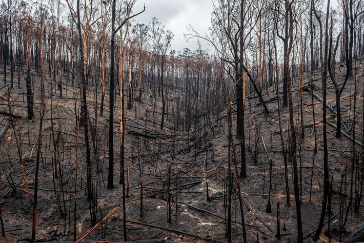 En 2019 y a principios de 2020, los incendios forestales devastaron Australia. Se creyó que los ...