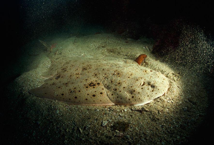Tiburón Ángel del Pacífico. Santa Catalina Island, California.