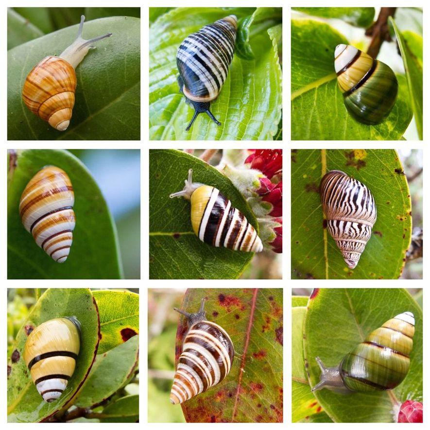 Los caracoles de la familia Achatinellinae viven en varias islas del Pacífico, pero son más diversos ...