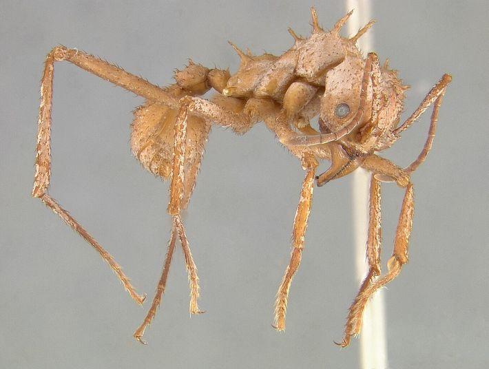 La armadura de Acromyrmex echinatior le ayuda a sobrevivir en guerras con otras especies de hormigas
