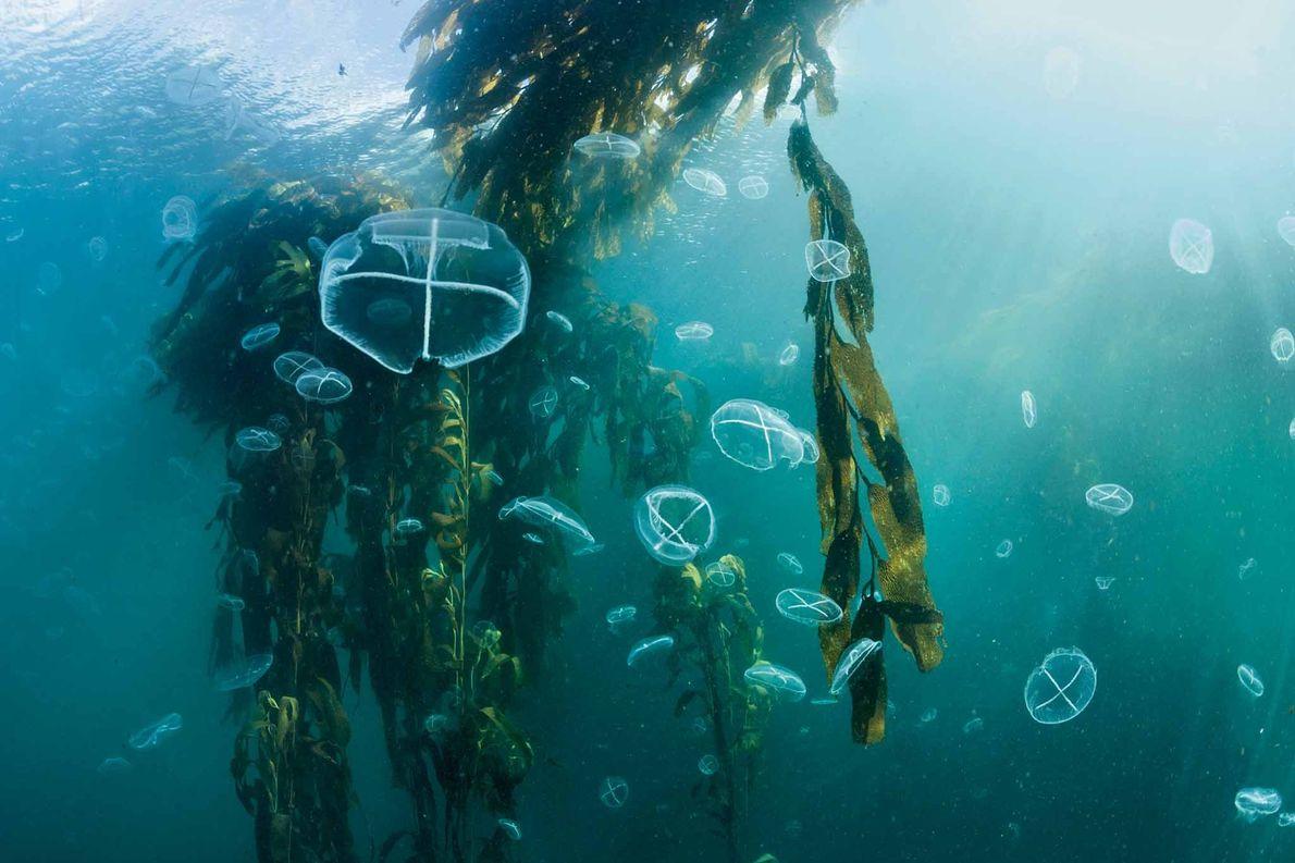 Bosques de algas gigantes