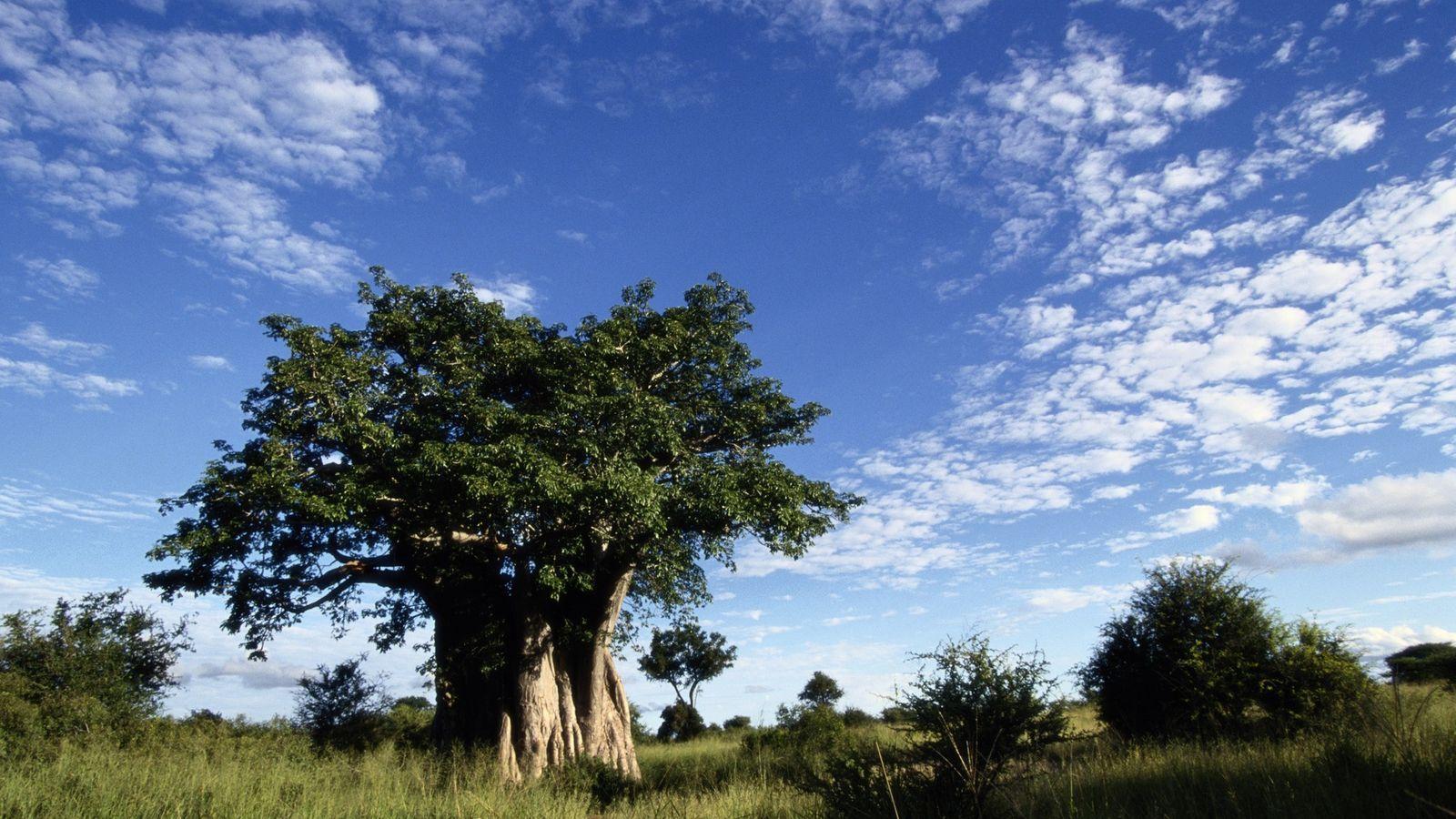 Un enorme baobab domina el paisaje de la sabana del Parque Nacional de Kruger, en Sudáfrica.
