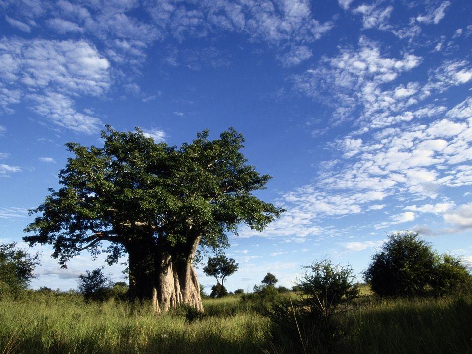 Los árboles más antiguos de África están muriéndose