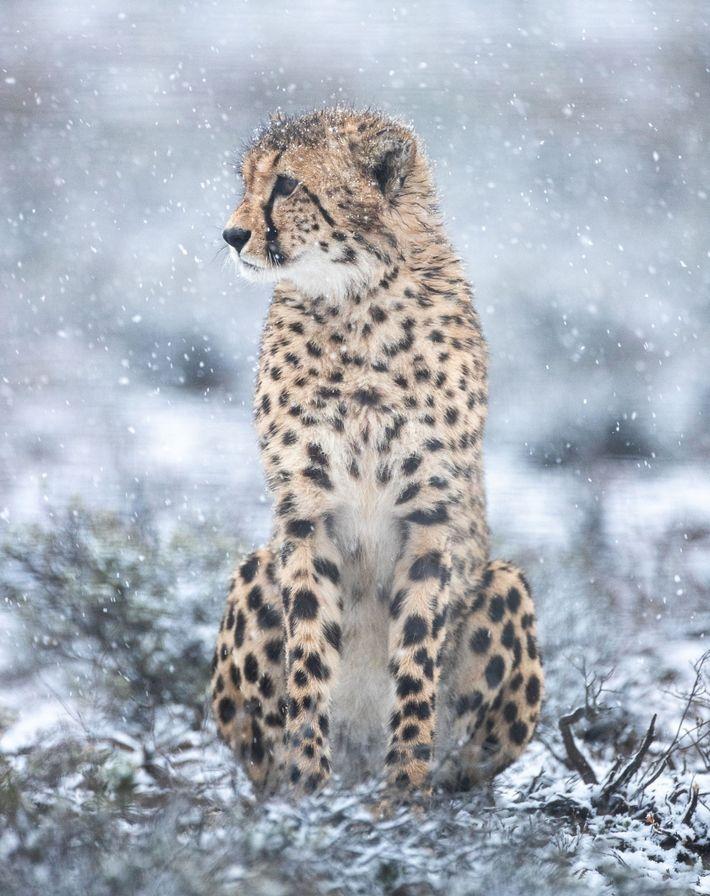 Un guepardo macho recientemente liberado en la reserva natural Rogge Cloof inspecciona el paisaje. En una ...