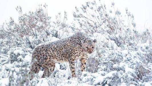Insólitas fotografías muestran a los guepardos africanos en tormentas de nieve