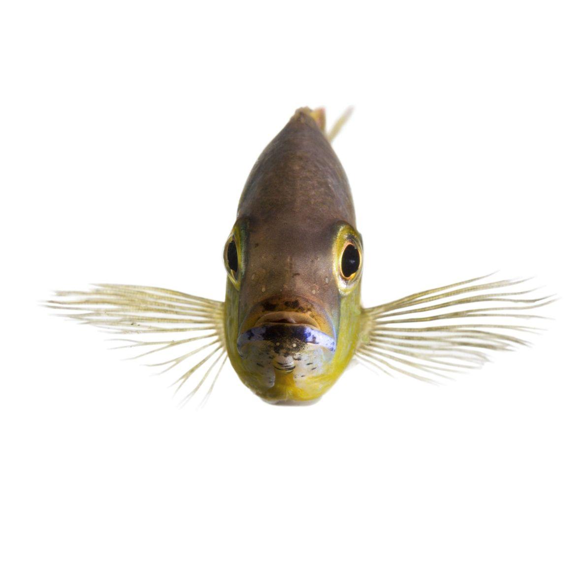 Algunos peces cíclidos africanos, originarios de Tanganyika en África del Este, pueden distinguir aquellos peces conocidos ...