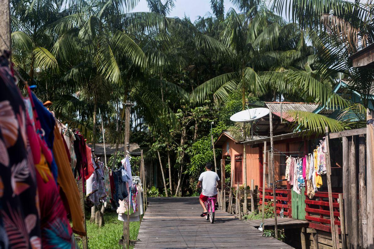 El azaí y los palmitos se extraen de las palmeras en las afueras la ciudad, que ...
