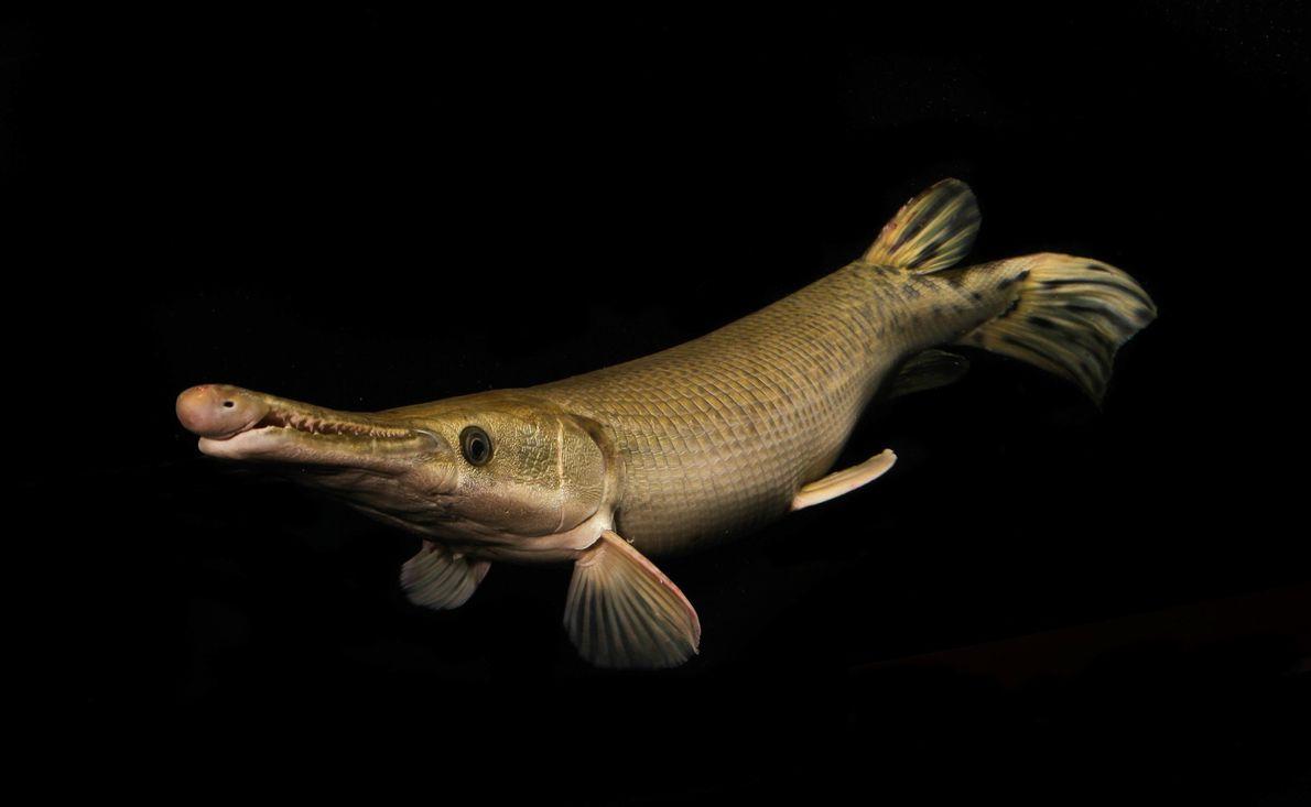 El cocodrilo, que puede crecer hasta 3 metros de largo, es uno de los peces de ...